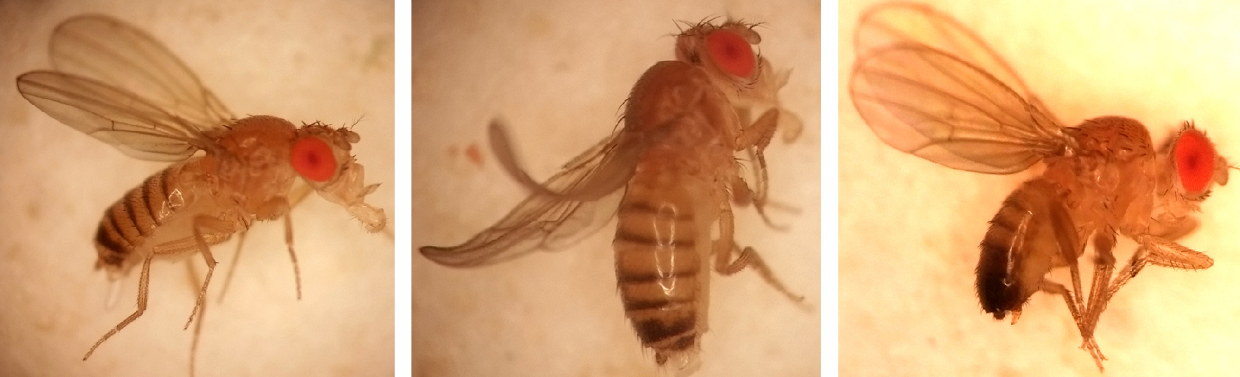 Three fruit flies from the Kalderon lab.